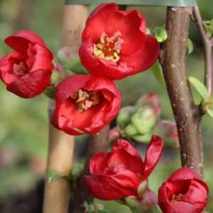 Chaenomeles Speciosa Hot Fire (Flowering Quince) 60-80cm Pyramid 10Ltr