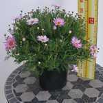 Marguerite Daisy Argyranthemum Light Pink