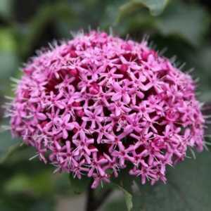 Clerodendrum Bungei Rose Glory