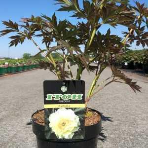 Peony (Paeonia) ITOH Intersectional Bartzella