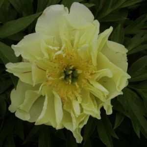 Peony (Paeonia) ITOH Intersectional Yellow Waterlily