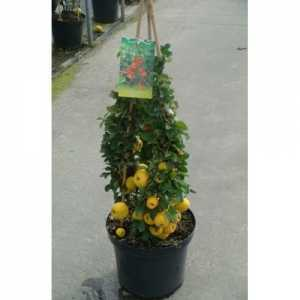 Chaenomeles Japonica Sargentii (Flowering Quince) 60-80cm Pyramid 10Ltr