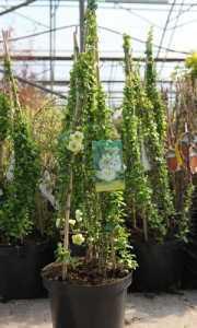 Chaenomeles Speciosa Yuki Goten Flowering Quince 18Ltr