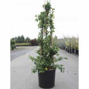 Chaenomeles Superba Cameo 100-125cm (Flowering Quince) 18Ltr