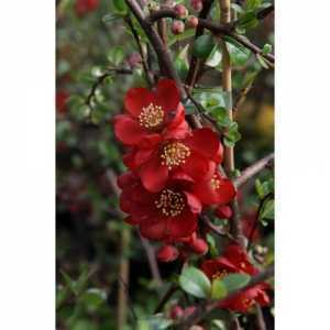 Chaenomeles Superba Elly Mossel (Flowering Quince) 3.5ltr