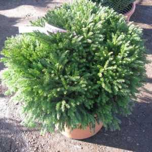 Cryptomeria Japonica Globosa Nana (Japanese Cedar)  22ltr