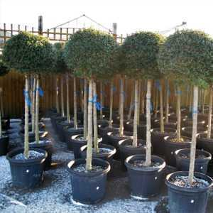 Ligustrum Delavayanum Topiary (Privet) 1/2 Standard 40-50cm Head 25Ltr