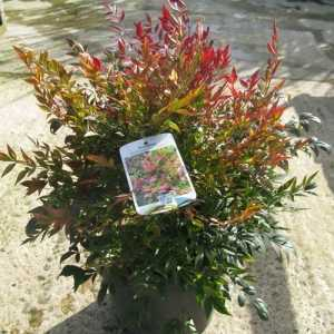 Nandina Domestica Gulf Stream (Heavenly Bamboo) 9.5Ltr