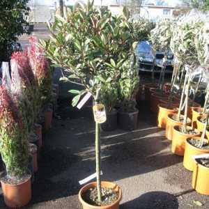 Photinia Fraseri Pink Marble 1/2 Standard 18.5ltr