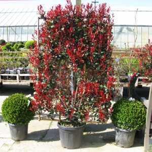 Photinia Fraseri Red Robin Robusta Compacta 100cm x 160cm Metal Frame 30ltr Pot