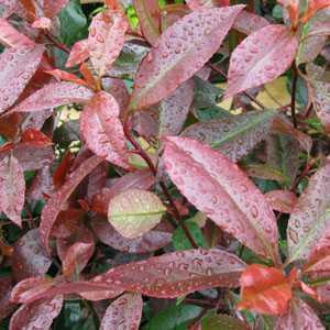 Photinia Fraseri Red Robin Robusta Compacta 1/4 Standard 10ltr