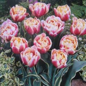 Tulip Bulbs Double Late Toplips 10 per pack