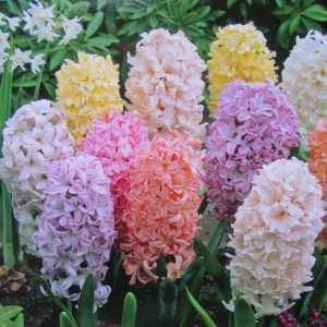 Hyacinths Bulbs Bedding Pastel Mixed 8 per pack