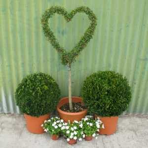 Ligustrum 'Jonandrum' Topiary Heart
