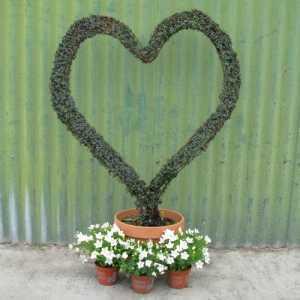 Cotoneaster 'Exburyensis' Heart