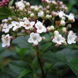 Viburnum Tinus French White