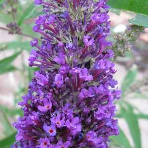 Buddleia Davidii Purple Emperor (Butterfly Bush)
