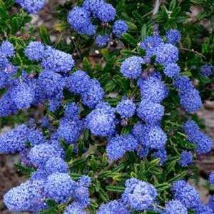 Ceanothus Thyrsiflorus Concha Californian Lilac 150cm 20ltr