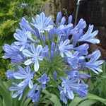 Agapanthus Blue (African Lily) Lily Of The Nile 2-3 Ltr
