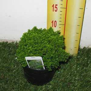 Hebe Green Globe (Emerald Gem/Emerald Green) 13cm Pot