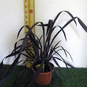 Phormium Black Velvet 3Ltr