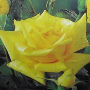 Sunblest Hybrid Tea Rose