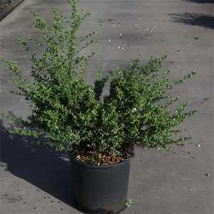 Ilex Crenata Convexa (Japanese Holly) 50-60cm 15Ltr