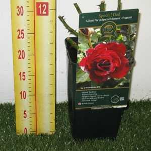 Rose Bush Hybrid Tea Special Dad Fragrant 3.5ltr