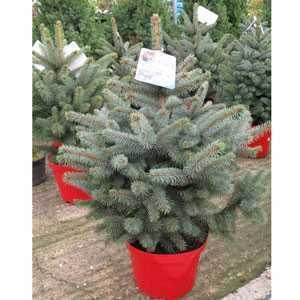 Picea Glauca Super Blue Christmas Tree 85cm Incl. The Pot