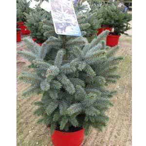 Picea Pungens Super Blue Christmas Tree 75cm Height Incl. The Pot
