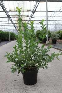 Vaccinium Blueberry Corymbosum Bluegold