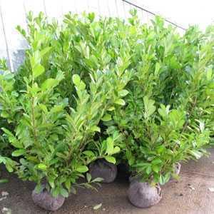 Laurel Hedging (Common or Cherry Laurel) Prunus Rotundifolia Rootball Hedging 165cm + 12 Plants