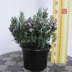 Andromeda polifolia 'Blue Ice' (Bog Rosemary) 2 Ltr