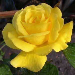 Golden Wedding (50th Anniversary) 1/2 Standard Rose