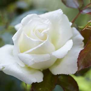 Rose 1/2 Standard Silver 25th Anniversary Floribunda Rose 80cm Clear Stem  7.5ltr