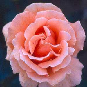 Warm Wishes 1/2 Standard Rose