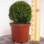 Buxus Sempervirens Ball (Topiary Ball/Box Hedge) 25-30cm 5 Litre Pot