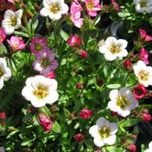 Saxifraga Marto Rose 1ltr