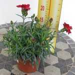 Dianthus (Pinks) Red 9-12cm Pot
