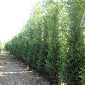 Leylandii Green Cupressocyparis 250-300cm  35 Ltr Pot