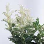 Euonymus Hees Pierrolino