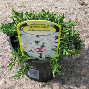 Dianthus Deltoides Albus 1ltr