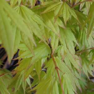Acer Shirasawanum Jordan Full Moon Maple 20ltr