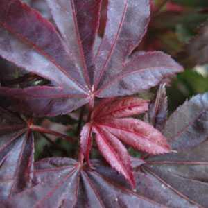 Acer Palmatum Pixie 4ltr