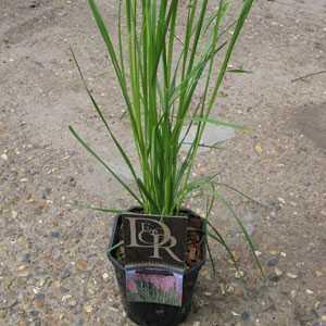 Cortaderia Selloana Rosea Pink Pampas Grass 2ltr
