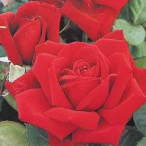 Loving Memory Hybrid Tea Rose