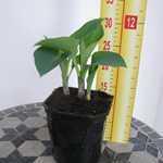 Hosta Halcyon (Plantain Lily)
