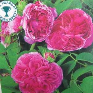 Charles De Mills Shrub Rose