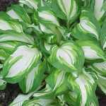 Hosta Undulata (Wavy Plantain Lily) 2Ltr