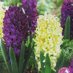 Hyacinth Bedding Bulbs Spring Surprise Mixed 8 Per Pack